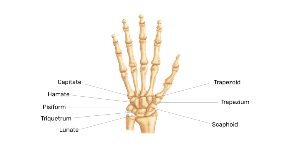 8 carpal bones