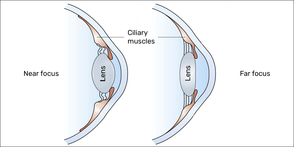 Ciliary muscles near and far