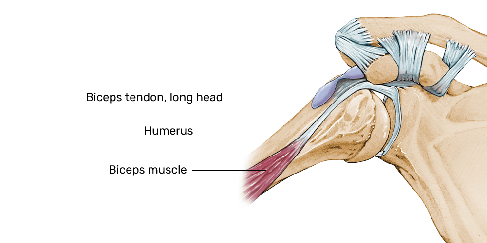 Mouse shoulder anatomy